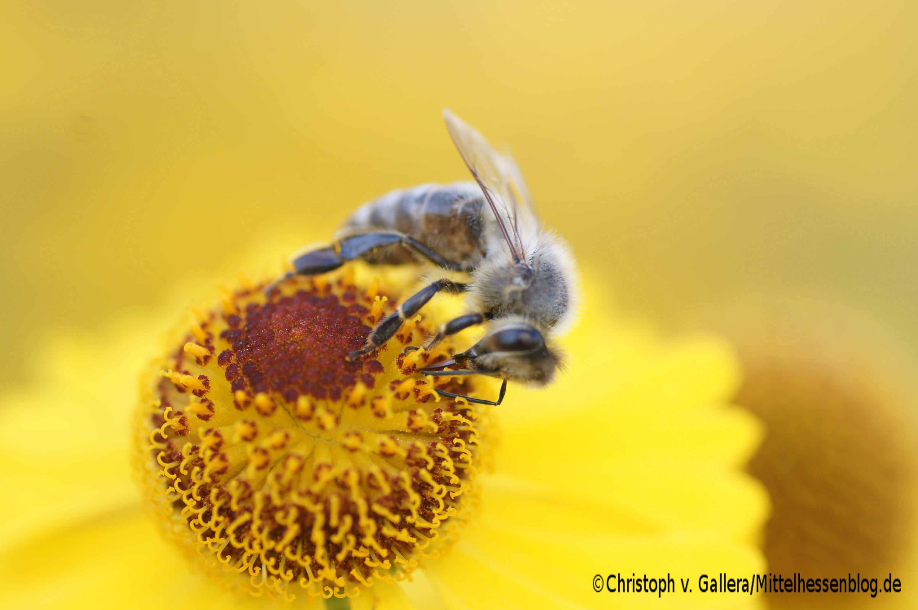 Hier wäre eine Biene auf einer Blüte zu sehen? Keinen  grafikfähigen Browser? Firefox hilft:-)