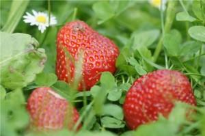 Erdbeeren — roter Traum für Cocktails, Kuchen und Co.