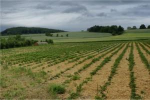 Erdbeeren und die Trockenheit: In Mittelhessen freuen sich die Bauern inzwischen über jeden Tropfen Wasser