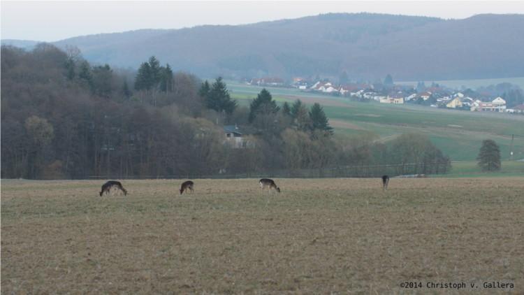 """Mit Blick auf den Lohraer Ortsteil Kirchvers im Landkreis Marburg-Biedenkopf äsen """"Freigänger"""" einer Damwildherde, die eigentlich in einem wenige Meter entfernten privaten Wildgehege in Frankenbach untergebracht ist. Foto: v. Gallera"""