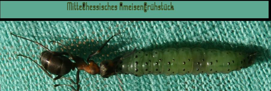Eine Ameise hat sich den Ärmel eine Spaziergängerin ausgesucht, um ihre Beute zu transportieren. Foto: v. Gallera