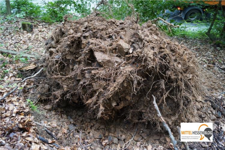 Keine Schäden am Wurzelgeflecht und keine Auffäligkeiten im Boden: Warum diese Buche plötzlich mitsamt Wurzelballen auf die Straße kippte, ist den Forstleuten ein Rätsel. Foto v. Gallera