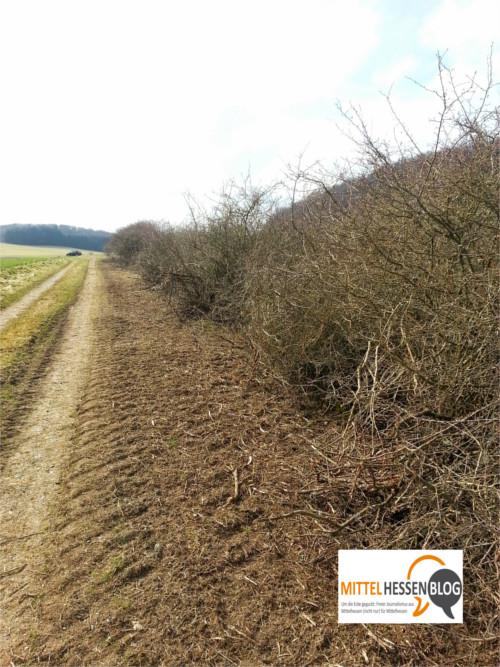 Abrasiert: Heckenrückschnitt an der Landstraße 3287 zwischen Wilsbach und Roßbach, Lahn-Dill-Kreis. Foto: v. Gallera. Mittelhessenblog.de
