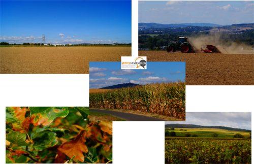 Vertrockneter Mais, vertrocknende Wälder: Egal wo in Mittelhessen: Nach Einschätzung des Mitteldeutschen Klimabüros in Leipzig gehört Mittelhessen zu den Regionen, die von der Dürre in Deutschland am stärksten betroffen sind. Bilder: v. Gallera