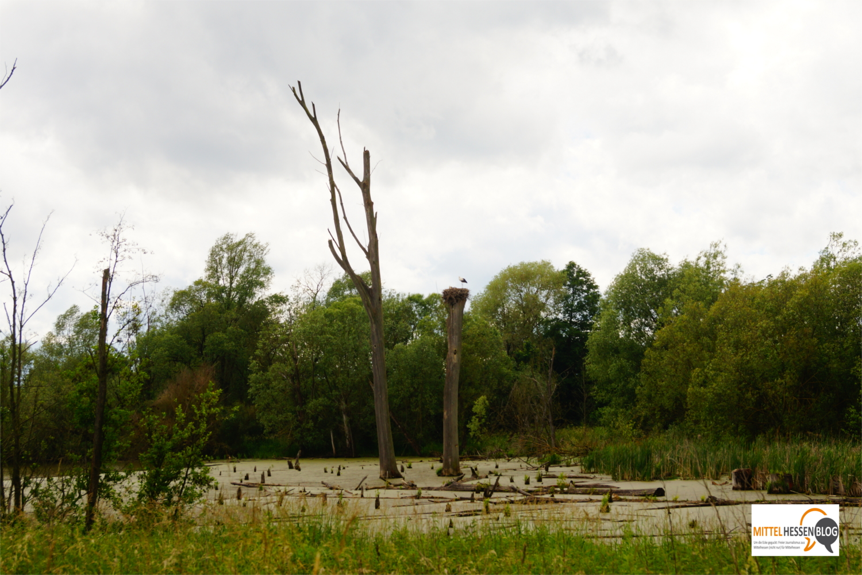 Mitten im Weiher steht der Baum, den sich ein Storchenpaar 2017 für sein Brutgeschäft im Hungener Ortsteil Steinheim ausgesucht hat. Foto: v. Gallera