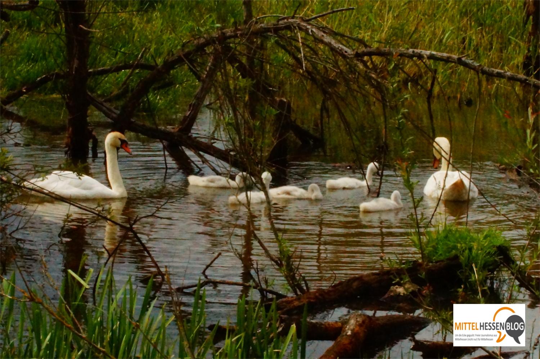 Die einen ziehen ihren Nachwuchs auf Baumstämmen heran. die anderen ziehen mit ihm früh durchs Wasser: Fünf junge Schwäne wachsen in Nachbarschaft der Störche heran. Foto: v. Gallera