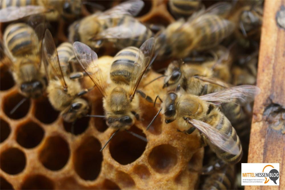 Arbeiterbienen versorgen den Nachwuchs. Erwachsenen Bienen kann die Amerikanische Faulbrut nichts anhaben. Bild. v. Gallera